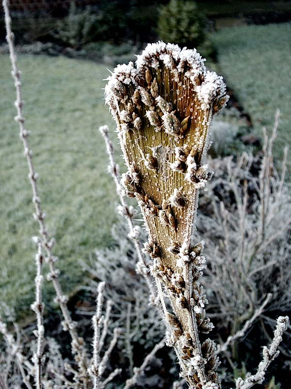 Cold mutant forsythia