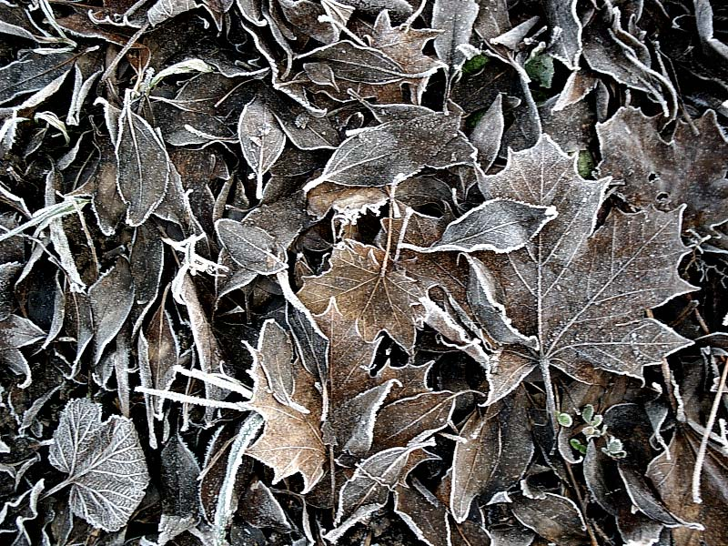 Cold sycamore leaves