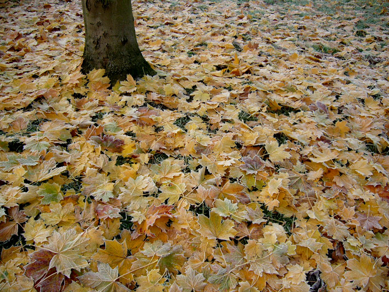 Sycamore leaves, and a tree
