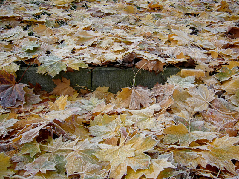 Sycamore leaves and a step
