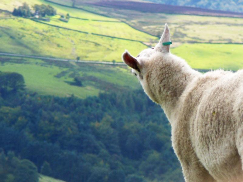 Shutlingsloe sheep