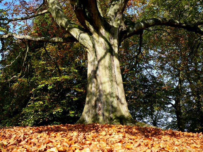 Autumn beech tree, Buxton