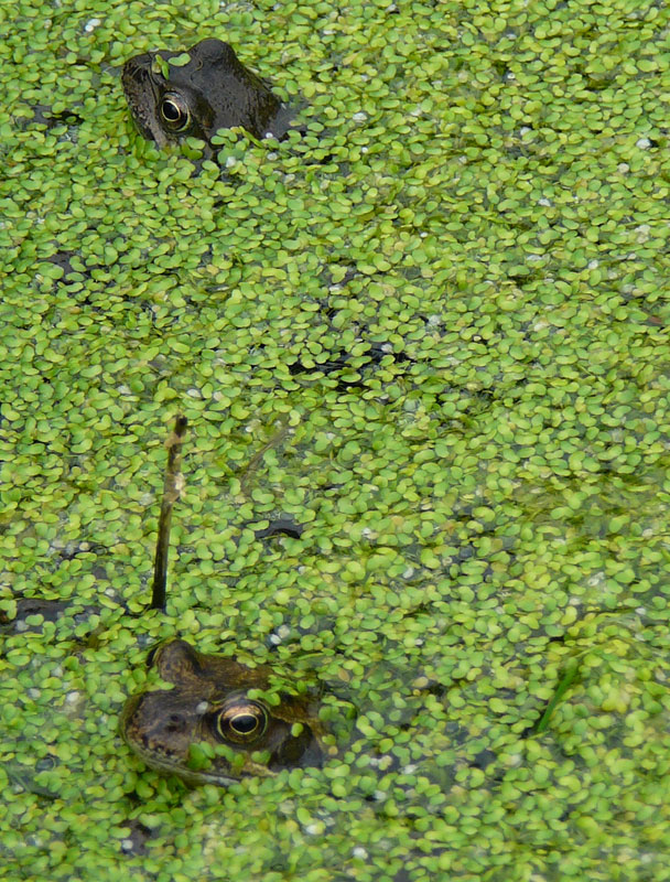 Frogs in a duckweek pond