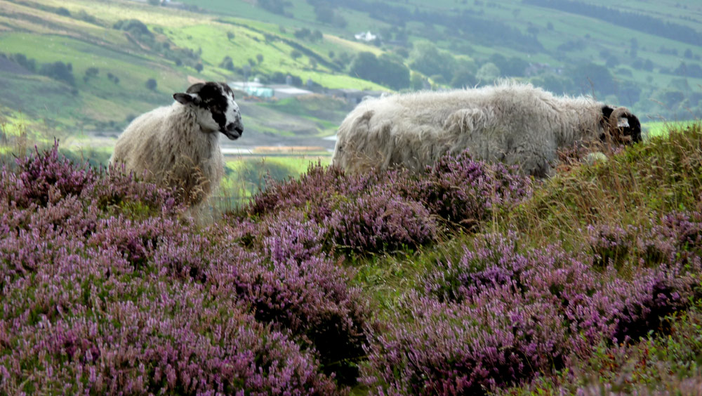 Hen Cloud sheep