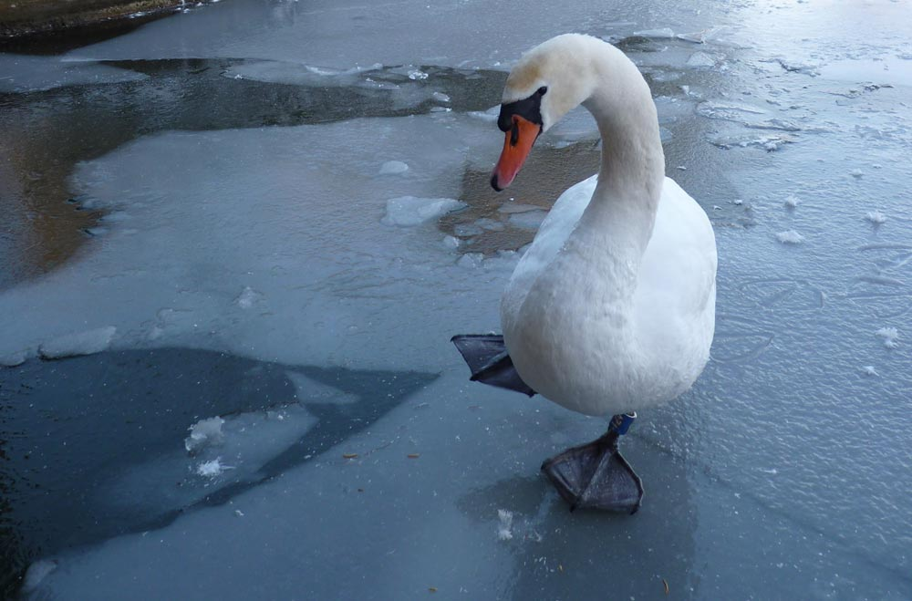 Icy swan