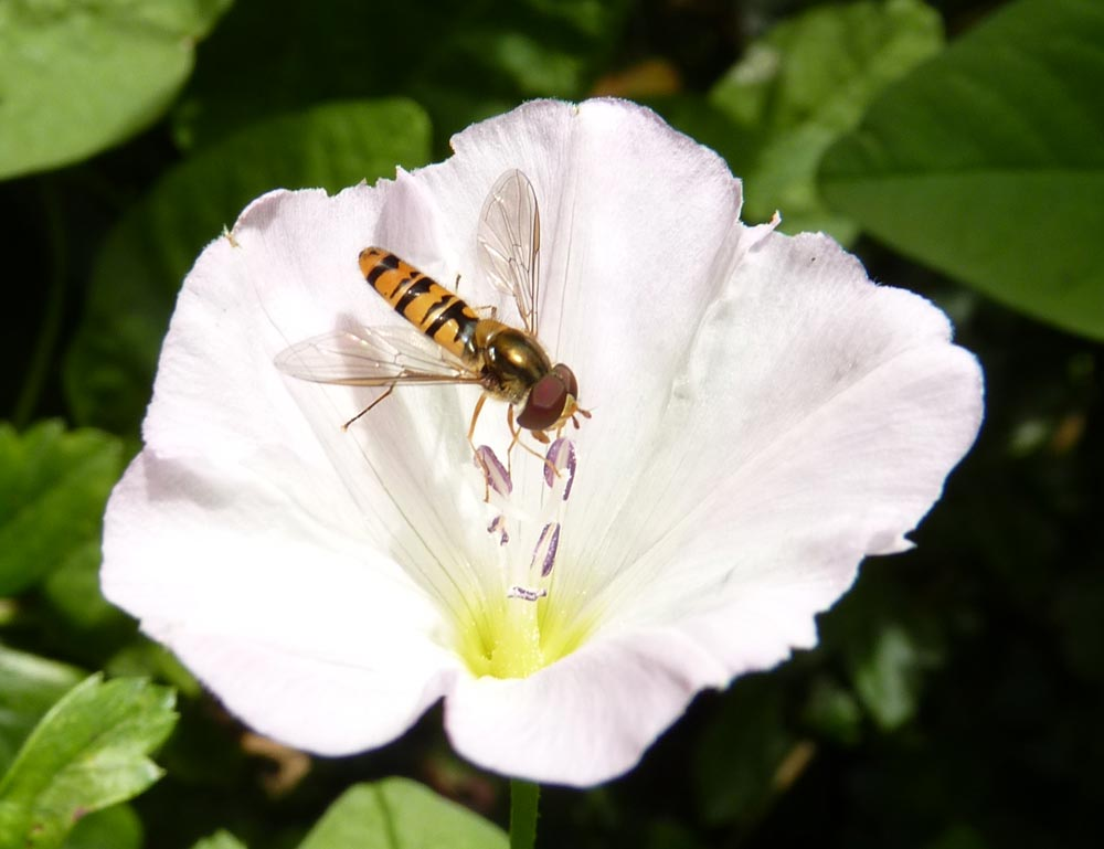 Hoverfly, on a flower