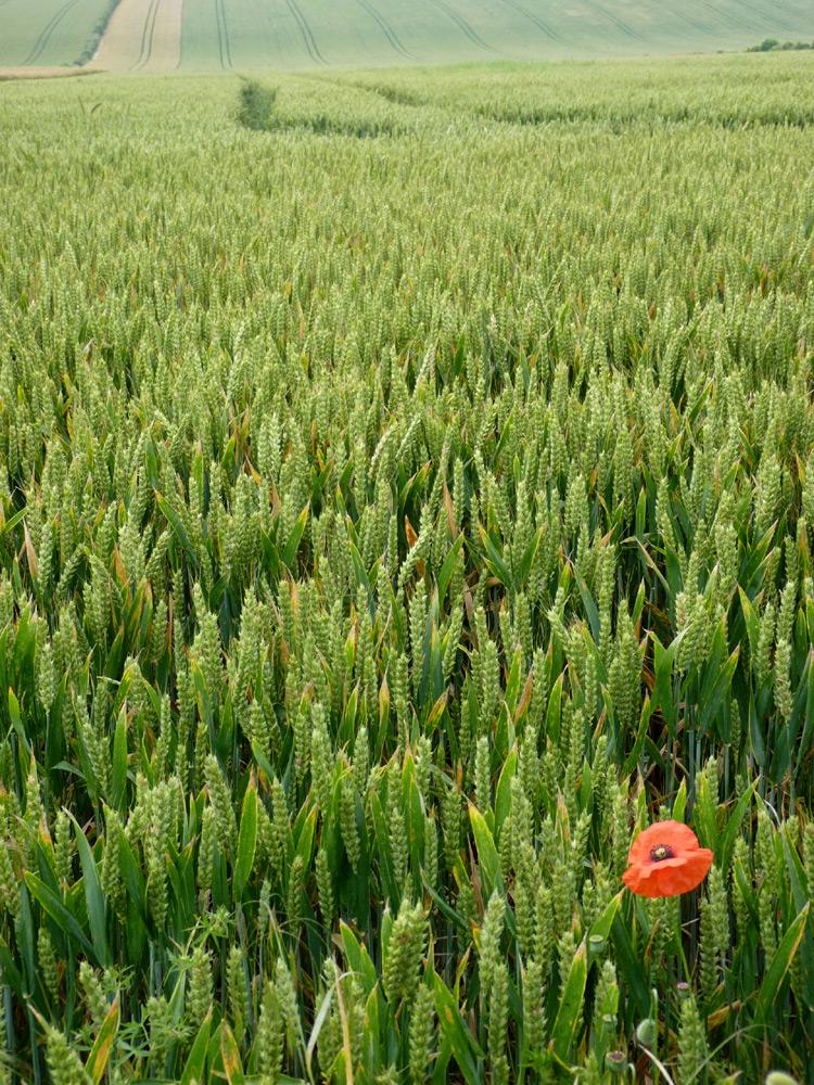 Yorkshire poppy