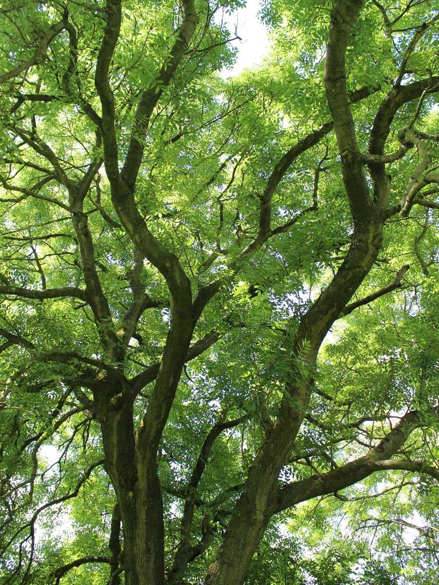 Big ash tree