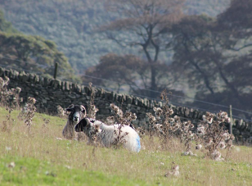 Sheep, lying down