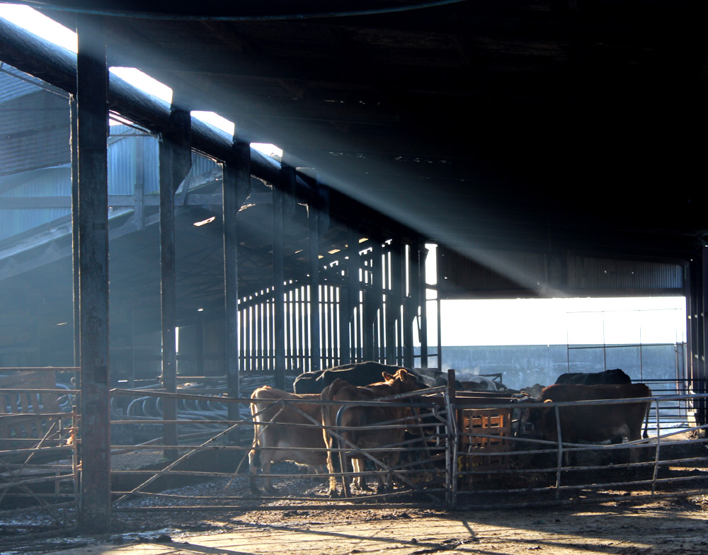Cows and sunray