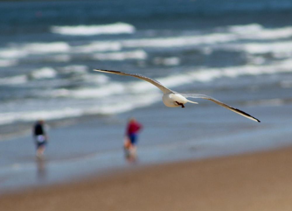 Adult black-headed gull