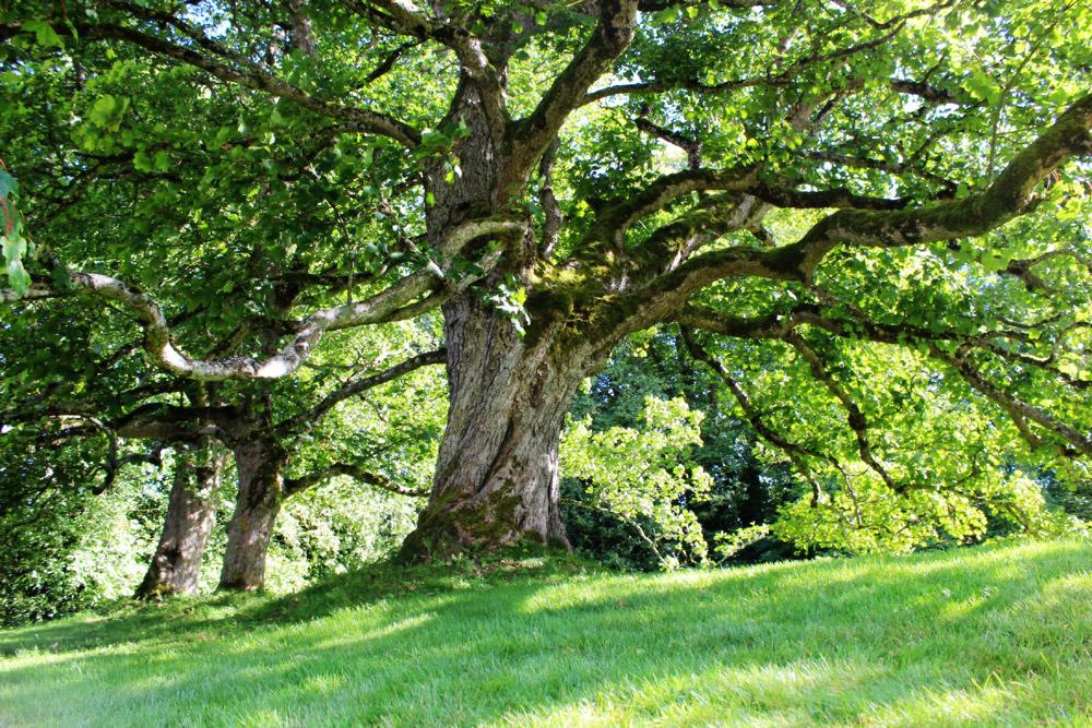 Big Cawdor Tree