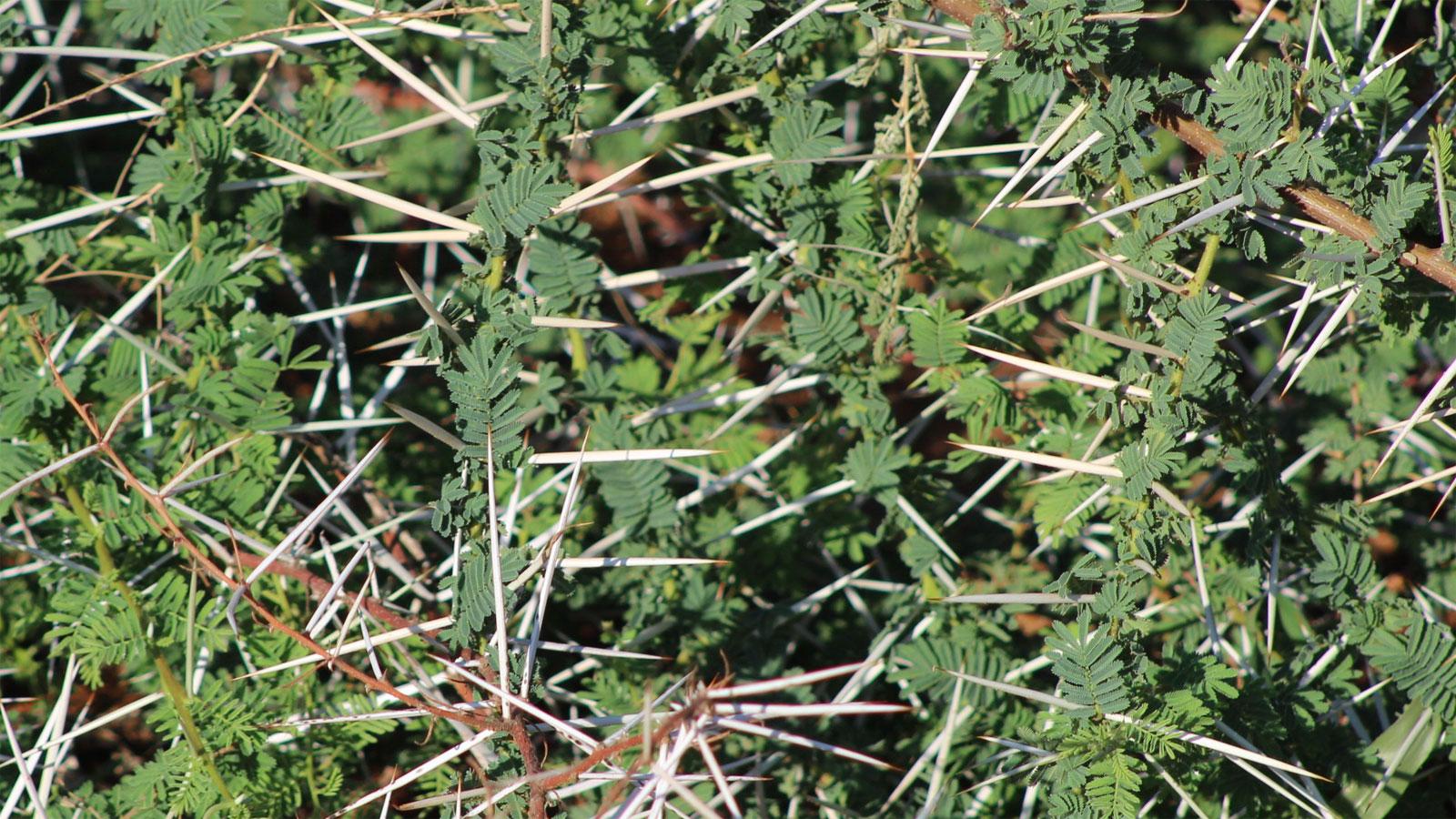 Big Thorns