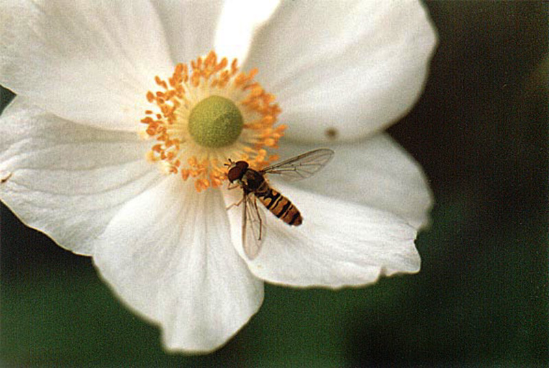 Anemone and hoverfly