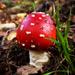 Bickerton Mushroom