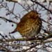 Thrush in the snow