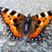 Select: Small Tortoiseshell