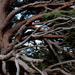Big scots pine