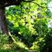 Cawdor Trees